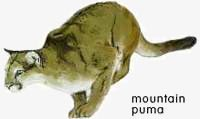Mountain Puma.  	© WWF