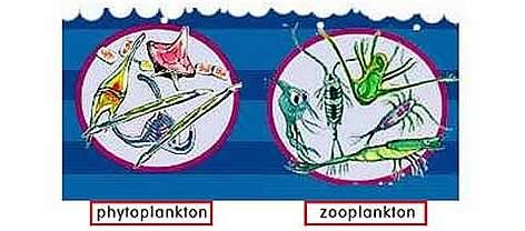Phytoplankton  amp Zooplankton