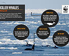 Killer whale facts