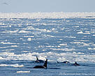 Killer whales in the Arctic