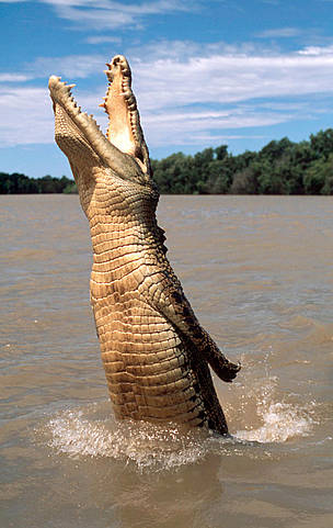 Saltwater crocodile jumping out of the water for offered food, Australia.  	© WWF / Martin HARVEY