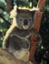 Eastern Australia Temperate Forests   WWF