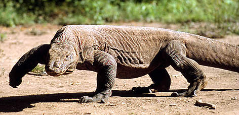 Komodo dragon (<i>Varanus komodoensis</i>), Komodo Islands, Indonesia. rel=