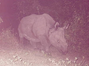 Rhino captured in a corridor restoration area. Wildlife frequently use this corridor to between ...      © WWF Nepal