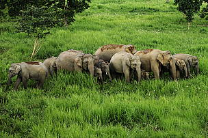 Asian elephants in Kuiburi National Park, Kayah Karen Tenasserim ecoregion, Thailand