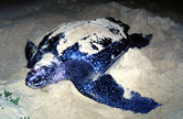 Leatherback turtle (<i>Dermochelys coriacea</i>) laying eggs on the beach. / ©: WWF / Martin HARVEY