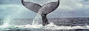 Humpback whales (Megaptera novaeangliae), mate and give birth in the Bay of Malaga, Colombia.  	© WWF / Diego M. GARCES