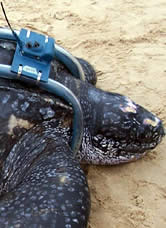 The leatherback turtle named Zoe. Click to view an enlarged picture. / ©: Karumbe