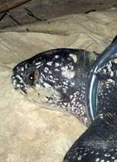 The leatherback turtle named Caroline.  	© WWF
