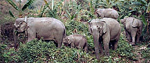 Wild Asian elephants (<i>Elephas maximus</i>)  	© WWF Greater Mekong