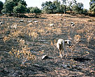Spanish Oak forest burnt in the summer of 2003, Extramadura, Central Spain