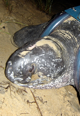 The leatherback turtle named Dona Divina. Click to view an enlarged picture. / ©: WWF
