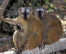 Red-fronted brown lemurs sitting on a tree limb in a Dry Forest, Madagascar.