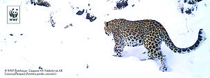 WWF's long term support to the Zangazur NP results in restoration of the leopard reproductive nucleus