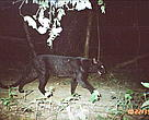 Leopard was one of the many endangered species caught by the WWF camera traps in Kuiburi National Park.