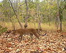 Female leopard and cub captured by a camera trap. The first ever photographs of a wild leopard taken with young in Cambodia.