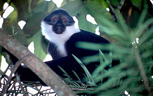 L'Hoest's monkey (<i>Cercopithecus lhoesti</i>) - A conservation priority among the ... / ©: WWF / PJ STEPHENSON