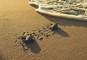 Two little leatherback turtles are heading to the sea. Rising sea levels will threaten their beach habitat