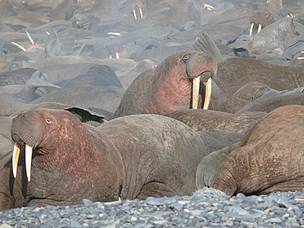 Walruses crammed together on the coast of Chukotka in far-eastern Russia