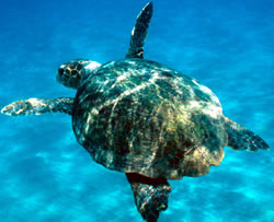 Some 200,000 endangered loggerhead turtles (<i>Caretta caretta</i>) drown annually on ...  	© WWF / Michel GUNTHER