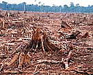 Illegal logging for paper industry and forest clearing for oil palm plantation.