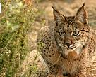 Iberian Lynx Campaign Keep Nature Alive