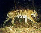 Tiger caught by the camera trap.<BR>