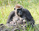 Maluti and her twins in Dzanga Sangha, CAR. The first twins ever born to habituated gorillas in the country.