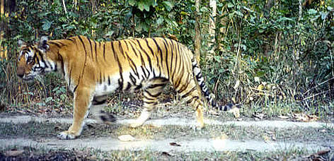"Malupothi is one of the tigers whose whereabouts have been monitored by ""camera traps"". ... rel="