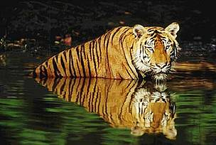 Indian tiger (<i>Panthera tigris tigris</i>) swimming in the water.  	© WWF / Martin HARVEY