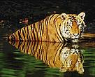 Indian tiger (<i>Panthera tigris tigris</i>) swimming in the water.