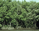 A mangrove tree forest, such as this one in Irian Jaya, Indonesia, can help protect against future tsunamis.