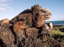Marine iguana (<i>Amblyrhynchus cristatus</i>), the only sea-going lizard in the world, ... / ©: WWF / Martin HARVEY