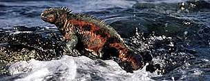 Marine iguana (Amblyrhynchus cristatus) - the only sea-going lizard in the world, Galapagos ... / ©: WWF / Martin HARVEY