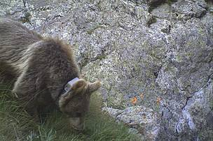 Bear after one month release (Camera trap - August 2013)