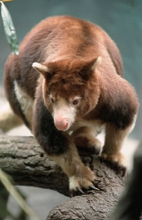 Matschie's tree kangaroo (Dendrolagus matschiei), one of Papua New Guinea's unique species. / ©: WWF / Chris Martin Bahr