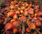 Mature oil palm