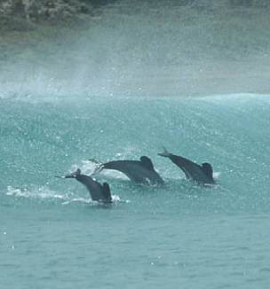 Maui's dolphins, North Island, New Zealand.  	© Kirsty Russell