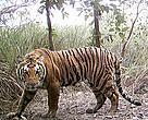 An adult tiger captured in a camera trap in the Shuklaphanta Wildlife Reserve of western Nepal.   	© WWF Nepal
