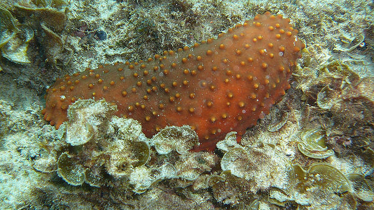 Sea cucumbers protected by CITES for the first time