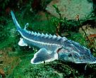Danube sturgeon in the Rhine, Germany