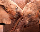 Two orphan baby African Elephants