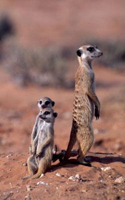 Red Meerkat Meerkat lt i gt Suricata