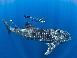 The Whale Sharks of Mafia Island in Tanzania