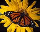 Monarch butterfly (<I>Danaus plexippus</I>).<BR>