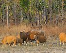 Banteng herd at a waterhole in Mondulkiri Protected Forest in Cambodia. Mondulkiri Protected Forest is a biodiversity hotspot and potential UNESCO World Heritage site.