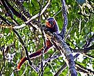 "The new species of monkey discoveres on the expedition belonged the ""Callicebus"" genus"