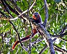The new species of monkey discovered on the expedition belonged to the 'Callicebus' genus