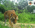 Camera trap of tiger in Mae Wong/Klong Lan National Parks in Thailand