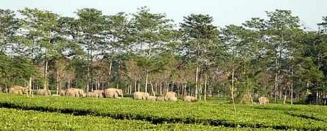 A large herd of elephants takes refuge in a tea estate in Assam, a favourite shelter for elephants ... rel=
